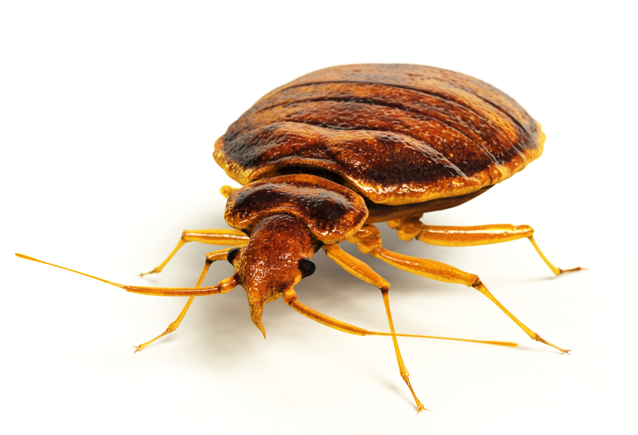 What Bed Bugs Look Like
